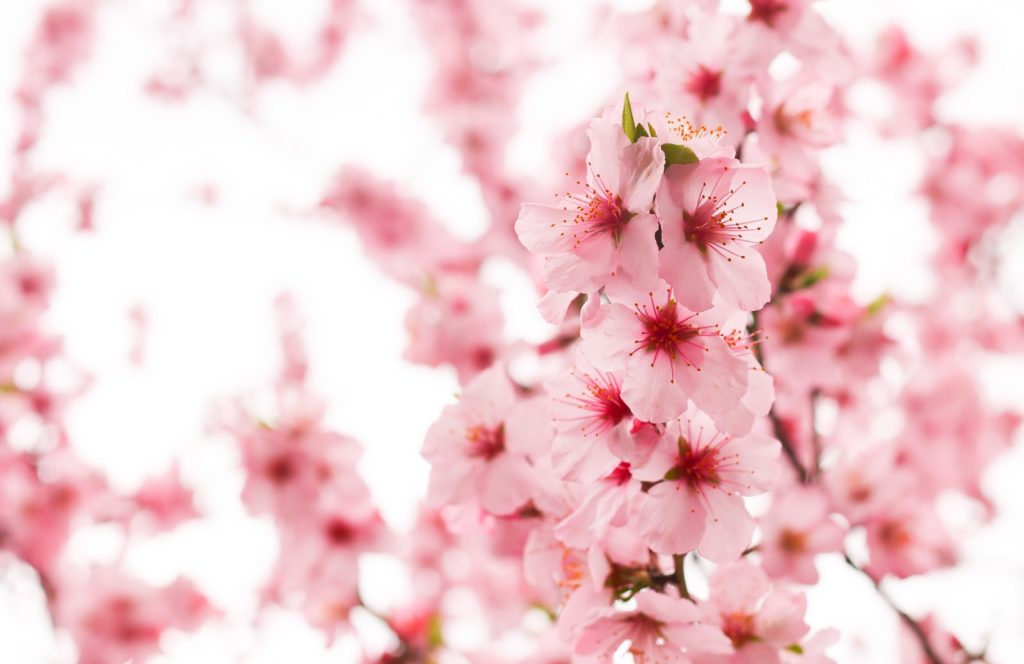 Beautiful blooming light pink cherry blossom
